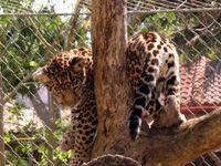 Jaguar-cub