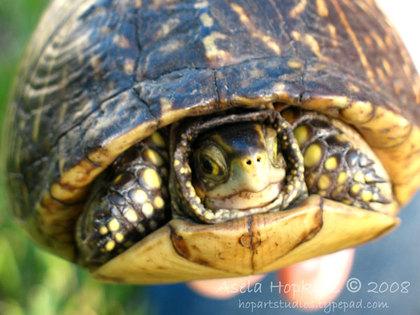 Turtle2asela