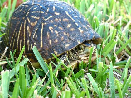 Turtleasela